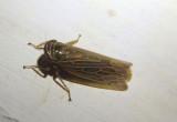 Pasaremus concentricus; Leafhopper species