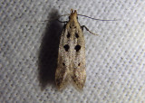 1928 - Deltophora sella; Twirler Moth species