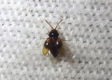 Atomaria ephippiata; Silken Fungus Beetle species