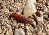 Collops Soft-winged Flower Beetle species larva