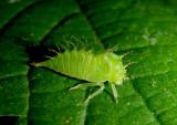 Ceresa Buffalo Treehopper species nymph