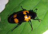 Megalodacne heros; Pleasing Fungus Beetle species