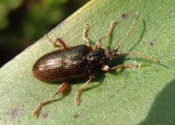 Plateumaris Aquatic Leaf Beetle species