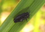 Taphrocerus Metallic Wood-boring Beetle species