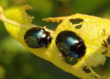Plagiodera versicolora; Willow Leaf Beetle; exotic