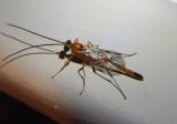 Mesochorinae Ichneumon Wasp species