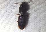 Clivina bipustulata; Ground Beetle species