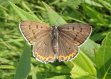 Lycaena dione; Gray Copper; female