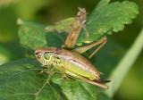 Metrioptera roeselii; Roesel's Katydid; female nymph; exotic