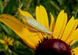 Oecanthus quadripunctatus; Four-spotted Tree Cricket; male