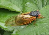 Magicicada cassini; Cassini Periodical Cicada