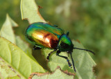 Chrysochus auratus; Dogbane Leaf Beetle