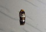 0070 - Stigmella prunifoliella; Moth species