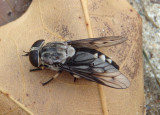 Tabanus trimaculatus; Horse Fly species; female