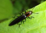 Acropteroxys gracilis; Slender Lizard Beetle