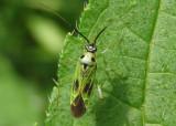 Ilnacora malina; Plant Bug species