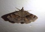 8479 - Spargaloma sexpunctata; Six-spotted Gray