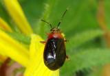Metriorrhynchomiris dislocatus; Plant Bug species