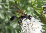 Isodontia apicalis/mexicana complex; Grass-carrying Wasp species
