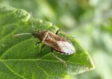 Neortholomus scolopax; Seed Bug species
