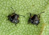 Chinavia hilaris; Green Stink Bug nymphs