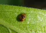 Nephus intrusus; Dusky Lady Beetle species