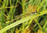 Ischnura hastata; Citrine Forktail; male