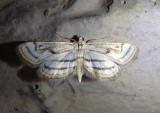 4761 - Parapoynx badiusalis; Chestnut-marked Pondweed Moth