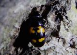 Glischrochilus fasciatus; Picnic Beetle