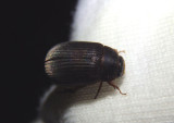 Serica June Beetle species