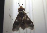 Chrysops brunneus; Deer Fly species; male