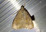 4870 - Glaphyria sequistrialis; White-roped Glaphyria