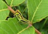 Melanoplus bivittatus; Two-Striped Grasshopper nymph