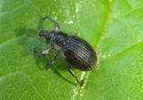 Anametis granulata; Broad-nosed Weevil species