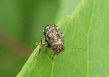 Pachybrachis Scriptured Leaf Beetle species