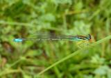 Enallagma antennatum; Rainbow Bluet; male