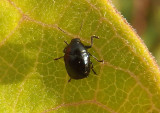Lexiphanes saponatus; Case-bearing Leaf Beetle species