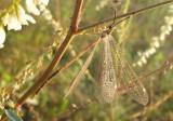 Brachynemurus abdominalis; Antlion species; male