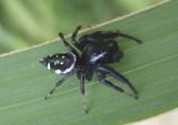 Paraphidippus aurantius; Jumping Spider species