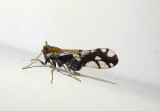 Liburniella ornata; Delphacid Planthopper species