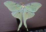 7758 - Actias Luna; Luna Moth