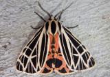 8197 - Grammia virgo; Virgin Tiger Moth