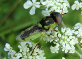 Hedriodiscus binotatus; Soldier Fly species; male