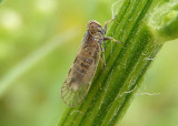 Oecleus Cixiid Planthopper species