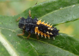 Harmonia axyridis; Multicolored Asian Lady Beetle larva; exotic