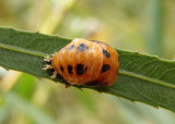 Harmonia axyridis; Multicolored Asian Lady Beetle pupa; exotic