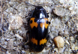 Megalodacne fasciata; Pleasing Fungus Beetle species