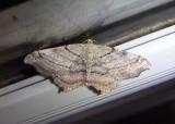 6353 - Macaria multilineata; Many-lined Angle