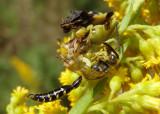 Phymata Jagged Ambush Bug species with Thynnid Wasp prey