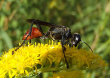 Prionyx Thread-waisted Wasp species